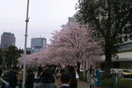写真:東京ミッドタウンの桜